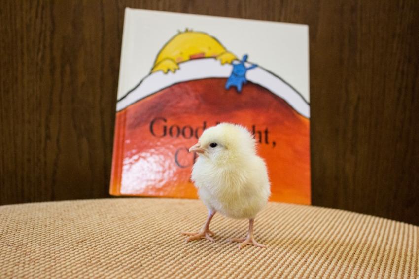 Chick_4