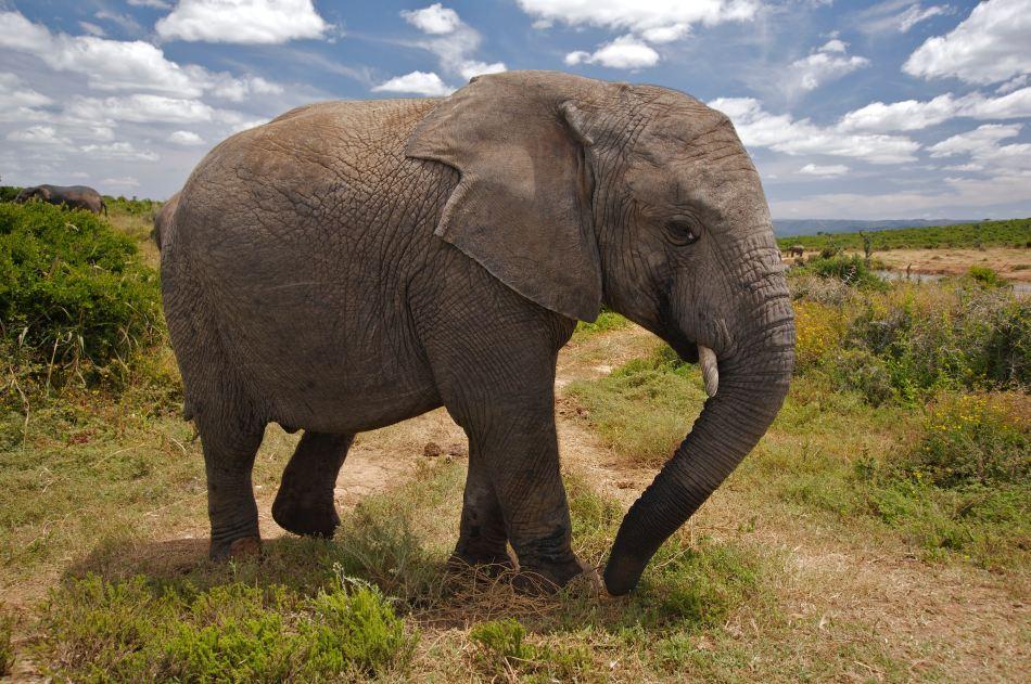 Elephants are smart