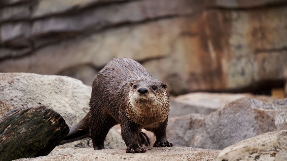 Otters are really smart