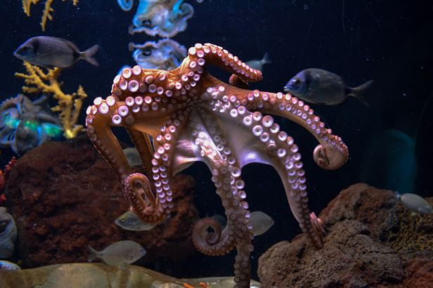 Octopuses are about as smart as house cats.
